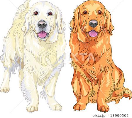 Golden retriever puppy drawing