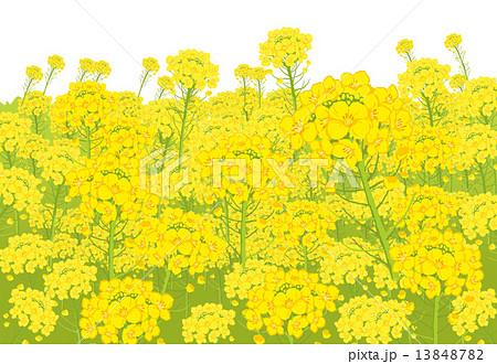 無料ダウンロード 菜の花 畑 イラスト 壁紙イラスト