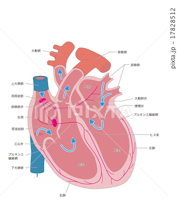 右心房のイラスト素材 - PIXTA