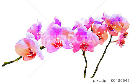 胡蝶蘭のイラスト素材 Pixta