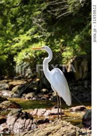 ブラジルの野鳥の写真素材 - PIX...