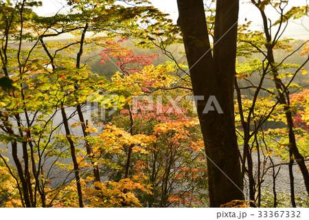 前面に木の幹のシルエットを配して紅葉の林を撮影