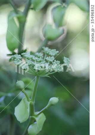 Ashitaba Flower