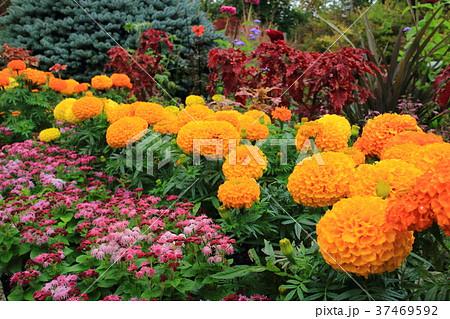 花 花壇 マリーゴールド 寄せ植えの写真・イラスト素材を検索中(60件中1件 , 60件を表示)