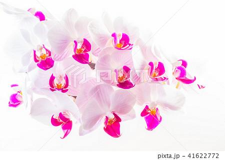 胡蝶蘭の写真素材 Pixta